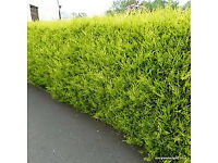 Castlewellan Gold Hedging Plants