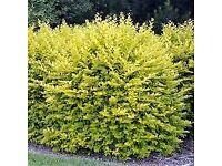 Golden Privet hedging