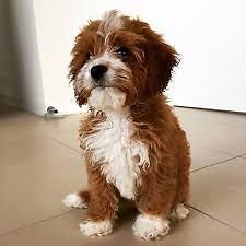 WANTED: F1 Toy Cavoodle puppie - Looking for a mate Herston Brisbane North East Preview