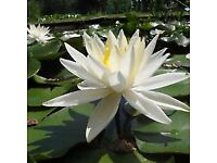white water lillys for sale