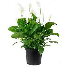 PEACE LILLY PLANTS Fairfield Fairfield Area Preview