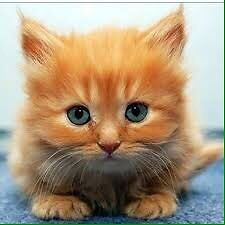 Looking for long haired orange kitten