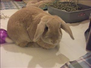 """Adult Male Rabbit - French-Lop: """"Honey"""""""