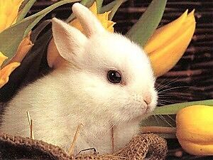Looking : for a white bunny