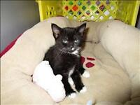 "Baby Male Cat - Domestic Medium Hair: ""Mittens"""