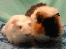 Lots of Guinea Pigs still available at The Cavy Cottage Aspley Brisbane North East Preview