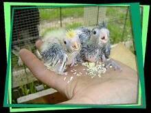Looking for 3-4 Baby Cockatiels to hand rear Klemzig Port Adelaide Area Preview