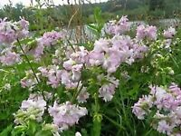 Bouncing Bet, herb, Saponaria Officianalis double flowers 2 large healthy plants