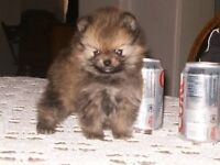One Pomeranian puppy left for sale!!