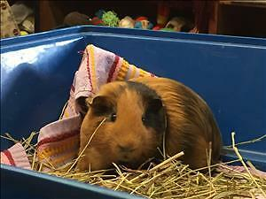 """Young Male Small & Furry - Guinea Pig: """"Vinny"""""""