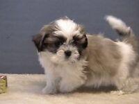 Imperial shitzu puppys