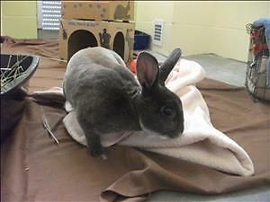 "Young Male Rabbit - Mini Rex: ""Thumpers"""