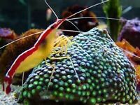 MARINE FISH / THIS IS FOR A PAINTED CLEANER SHRIMP , GREAT FISH CLEANER
