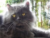 SQUIDGE IS A GREY LONG HAIRED PERSIAN CAT LAST SEEN ON 2ND NOV IN HOPE. CALL 07561264486 THANK YOU.