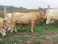Charolais/ Limo Bull
