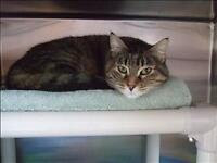 "Adult Female Cat - Domestic Short Hair: ""Trigger"""