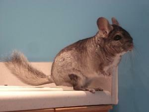 "Adult Male Small & Furry - Chinchilla: ""Marty"""