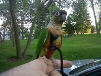 BIRD AVIATOR HARNESS, LEASH AND FLIGHT LINE