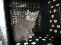 "Baby Male Cat - Domestic Short Hair: ""Crackle"""