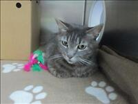 "Adult Female Cat - Domestic Short Hair: ""Tabatha"""