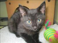 "Baby Female Cat - Domestic Short Hair: ""Tina"""
