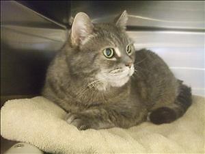 "Senior Female Cat - Domestic Short Hair: ""Ziggy (mama Potato)"""