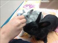 "Adult Female Rabbit - Dutch: ""Beatrice *watch My Video*"""