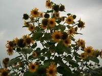 Sunflowers - Multi-Headed