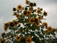 Sunflowers - Multi-Headed