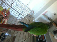Green cheek Conure with Cage for sale.