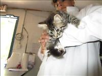 """Baby Male Cat - Domestic Short Hair: """"Sporty Spice"""""""