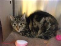 """Adult Female Cat - Domestic Short Hair: """"Pie (in Foster)"""""""