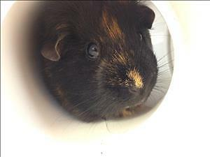 "Adult Female Small & Furry - Guinea Pig: ""Harvey"""