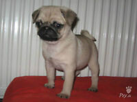 WANTED PUG PUPPY OR BOSTON TERRIER PUP