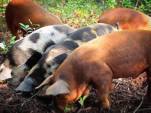 Looking for Berk/Tam Piglets