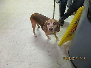 "Adult Female Dog - Beagle: ""Ruby"""