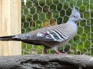 Australian Crested Dove- Tourterelle Huppe $500 le couple