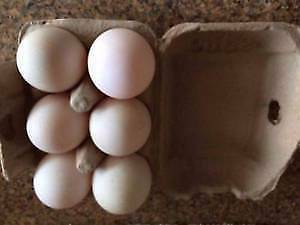 Duck eggs pasture grazed $10 for a dozen