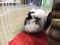"""Young Male Small & Furry - Guinea Pig: """"Woody"""""""