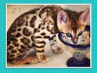 LEOPARD BENGAL KITTENS OUTSTANDING QUALITY FOR SALE