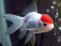 Fancy Goldfish - Red Cap Orandas x3 £12.00 or £4.95 Each- Size 2-3 inches