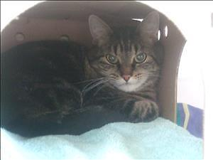 "Senior Female Cat - Domestic Short Hair: ""Oreo"""