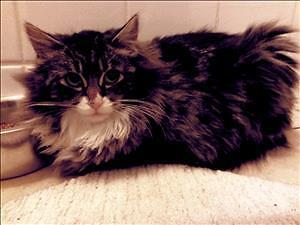 """Young Male Cat - Domestic Long Hair: """"Jason"""""""