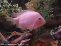 Central American Cichlids, Pink Convicts