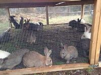 Rabbits - MEAT RABBIT SALE - Breed stock - Get ready for season!