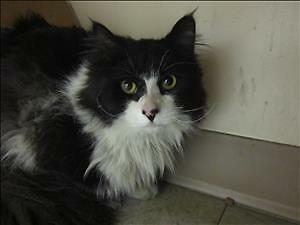 "Adult Male Cat - Domestic Medium Hair: ""20 Street (purr Pile)"""