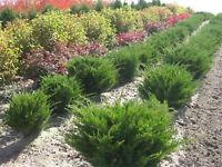 shrubs SALE public wholesale nursery stock plants boxwood trees