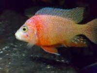 Malawi Cichlids (Assortments)