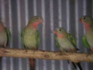 Pair of Princess Parrots Valley View Salisbury Area Preview