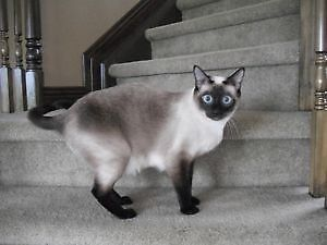 Siamese kittens /NEUTERED or spayed/ TRUE Appleheads